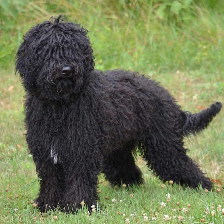 Perro de agua francés