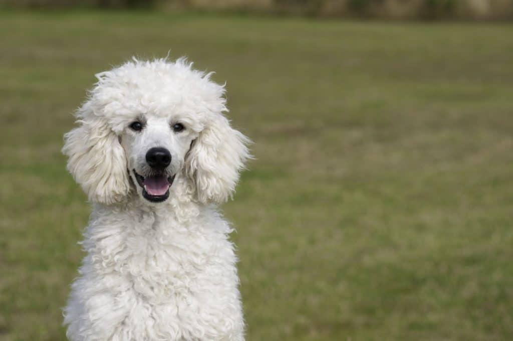 perro de agua poodle gigante