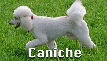 Perro de agua caniche poodle