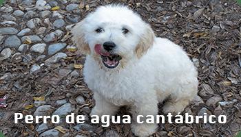 Perro de agua cantábrico