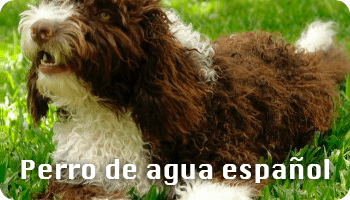 Perro pastor español de agua