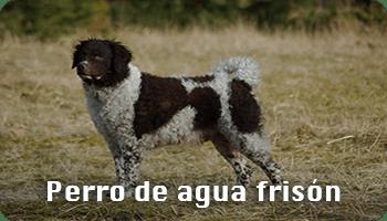 Perro de agua frisón